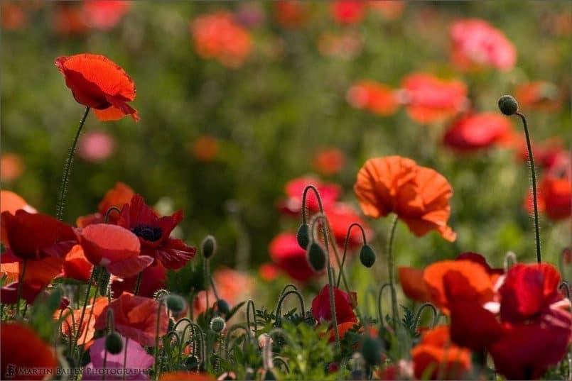 Poppies 2005 #07