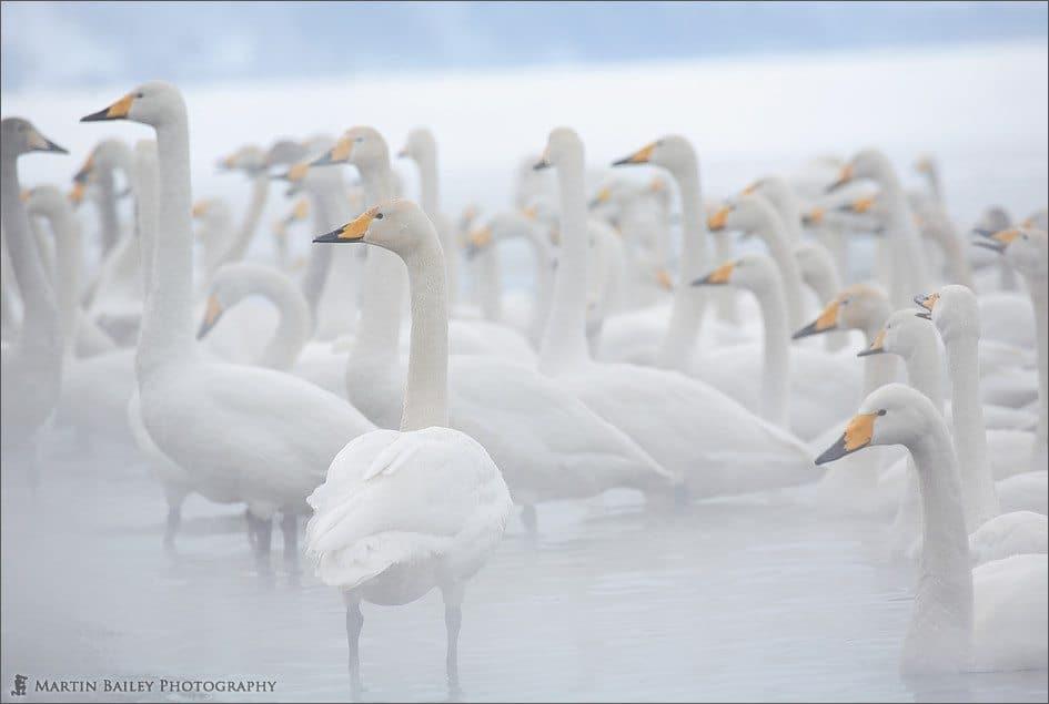 Steamy Kussharo Lake Swans
