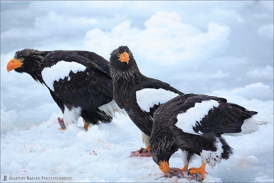 Rausu Steller's Sea Eagles Feeding