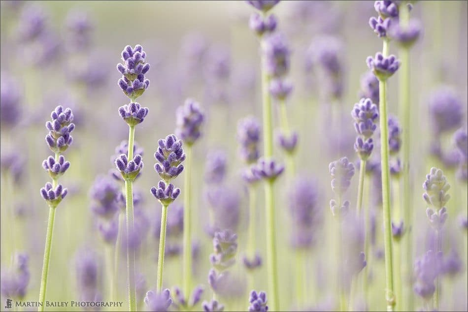 Early Flowering Lavender