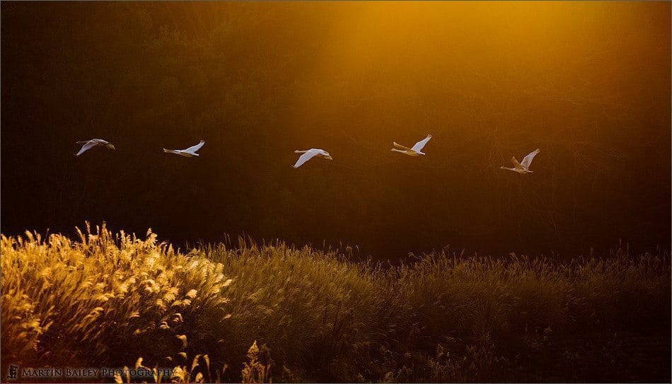 Dawn Whooper Swans