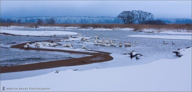 Swan's Roost #2