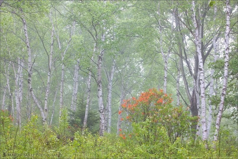 Wild Azalea in White Birch