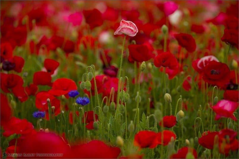 Corn Poppy Flowerscape