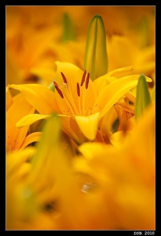 Lily Flowerscape (© Dennis Brennan)