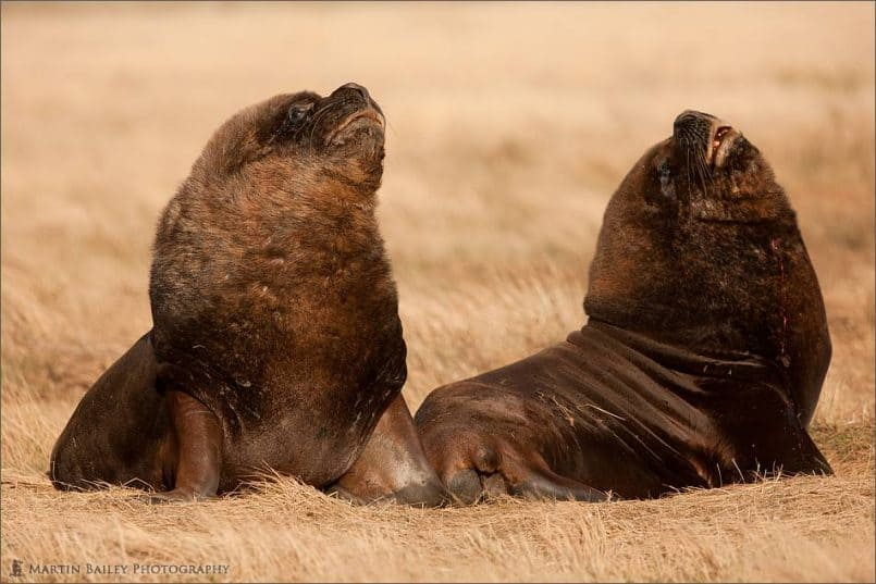 Sea Lions in the Savanna?