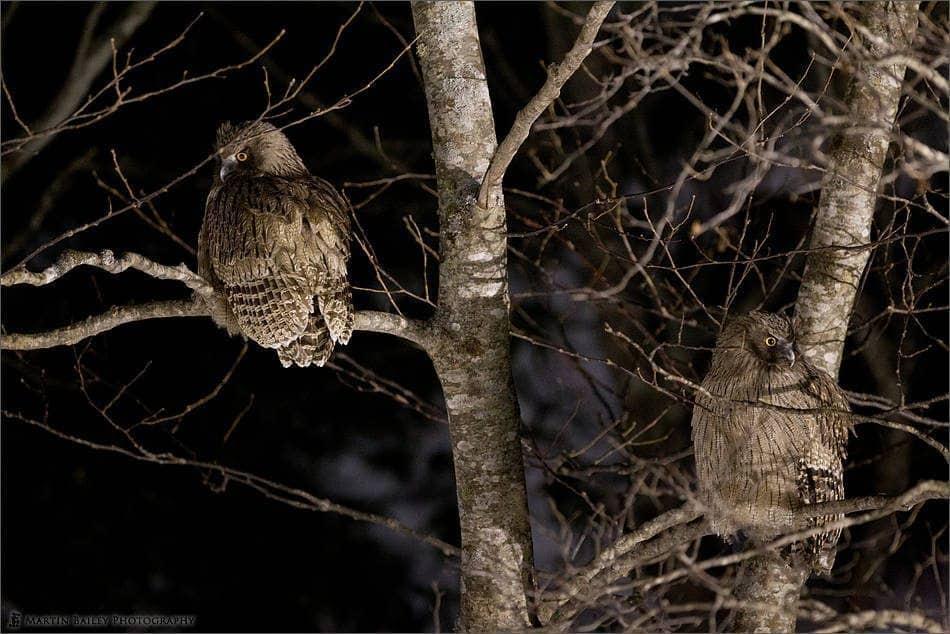 Two Blakiston's Fish Owls