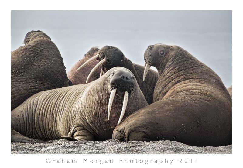 Atlantic Walrus © Graham Morgan