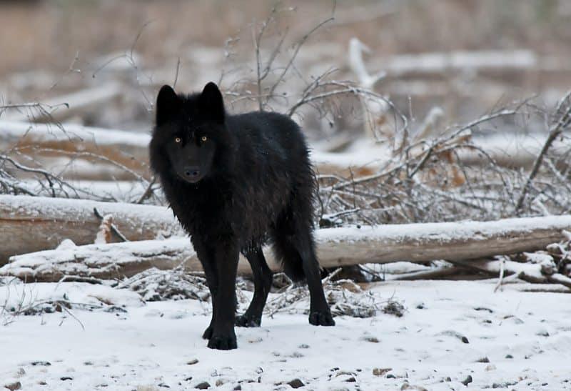 """""""Black Wolf"""" © Dan Newcomb"""
