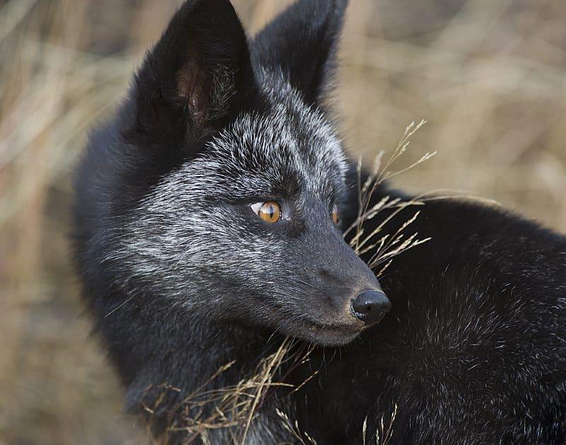 """""""Black Fox"""" © Dan Newcomb"""
