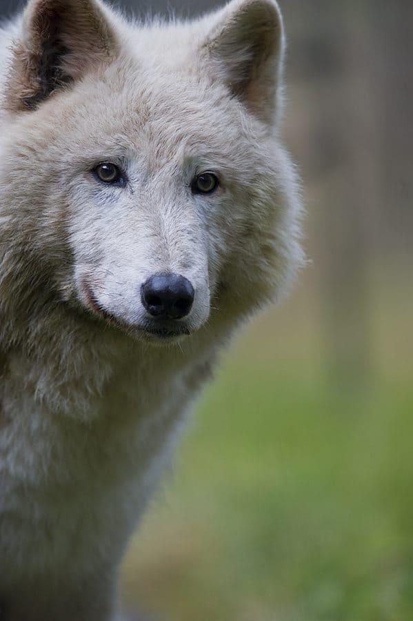 """White Wolf"" © Dan Newcomb"