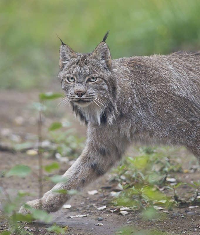 """Lynx"" © Dan Newcomb"
