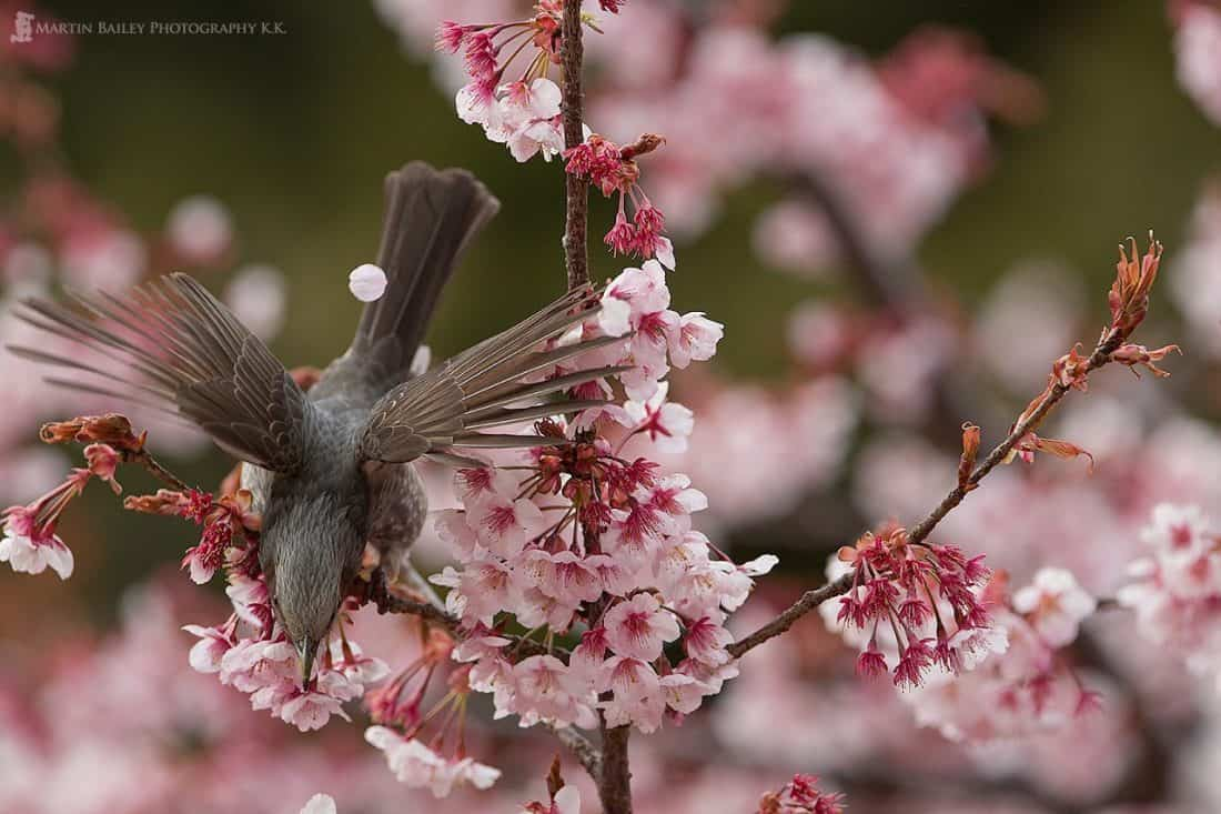 Brown-Eared Bulbul Takes Flight