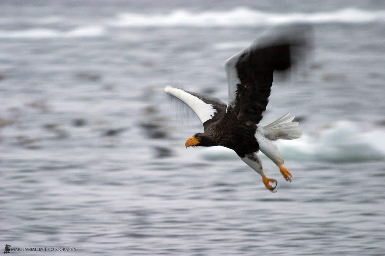 Flying Steller's Sea Eagle