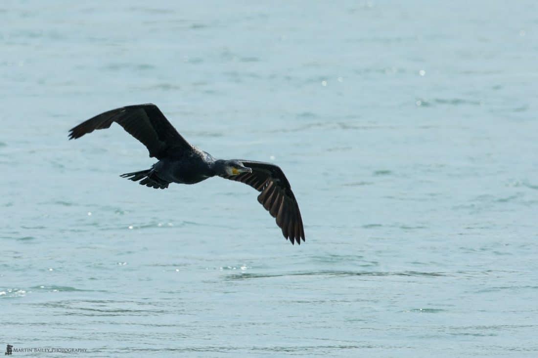 Common Cormorant (f/8, 1/1600, ISO 800)