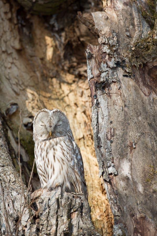 Sleepy Ural Owl