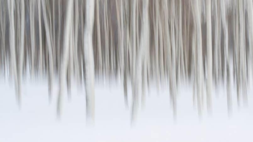 Birch Trees by David duChemin