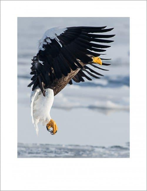 Steller's Sea Eagle by David duChemin