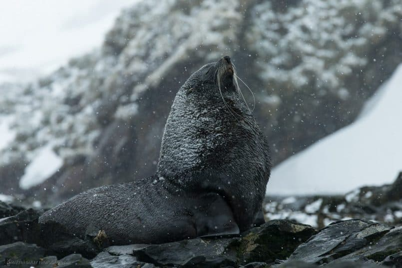 Fur Seal in Snow