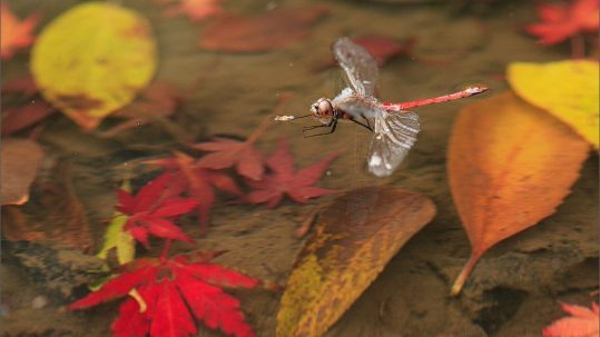 Drowning Dragonfly