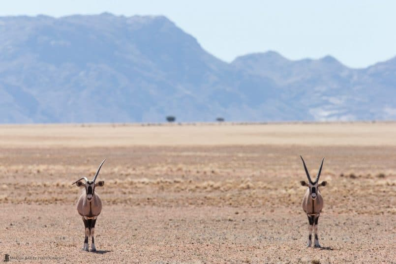 Two Oryx, Two Bushes