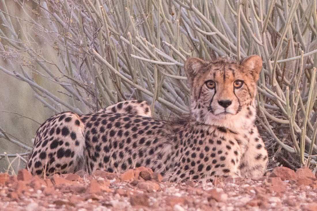 Cheetah at ISO12800 100% Crop
