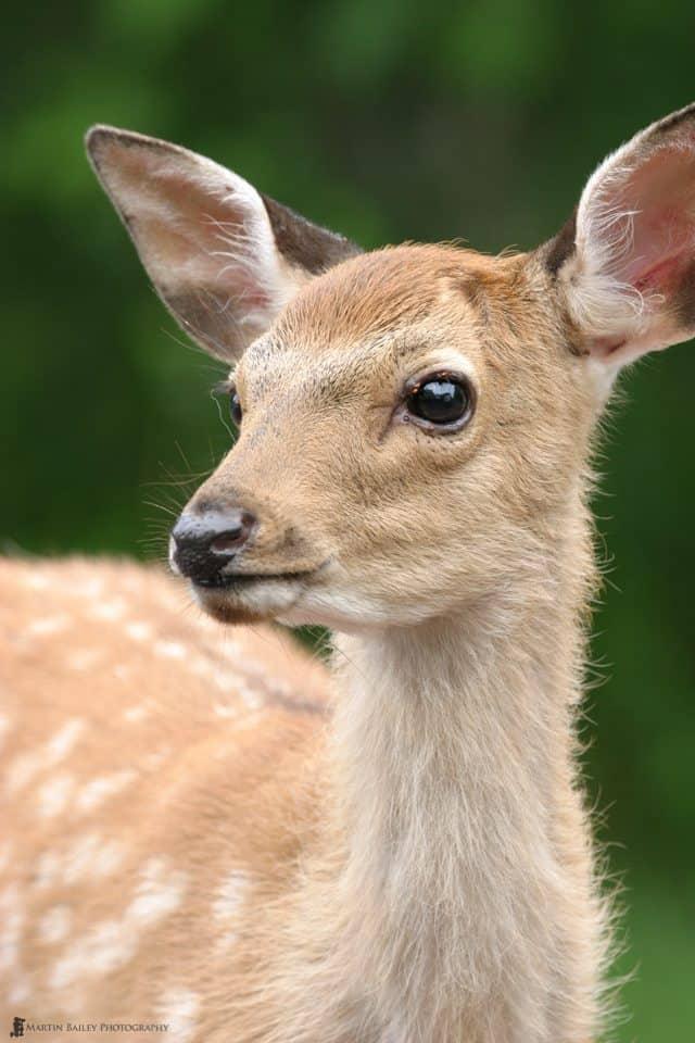 Ezo Deer in Kushiro Marsh