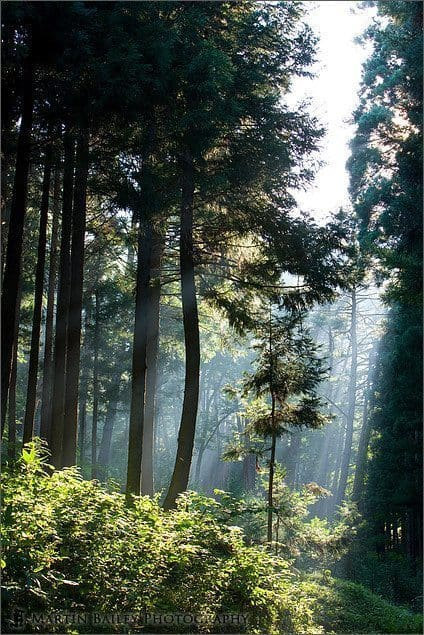 Sunlight through Trees #1