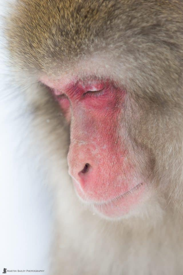 Snow Monkey Deep in Thought