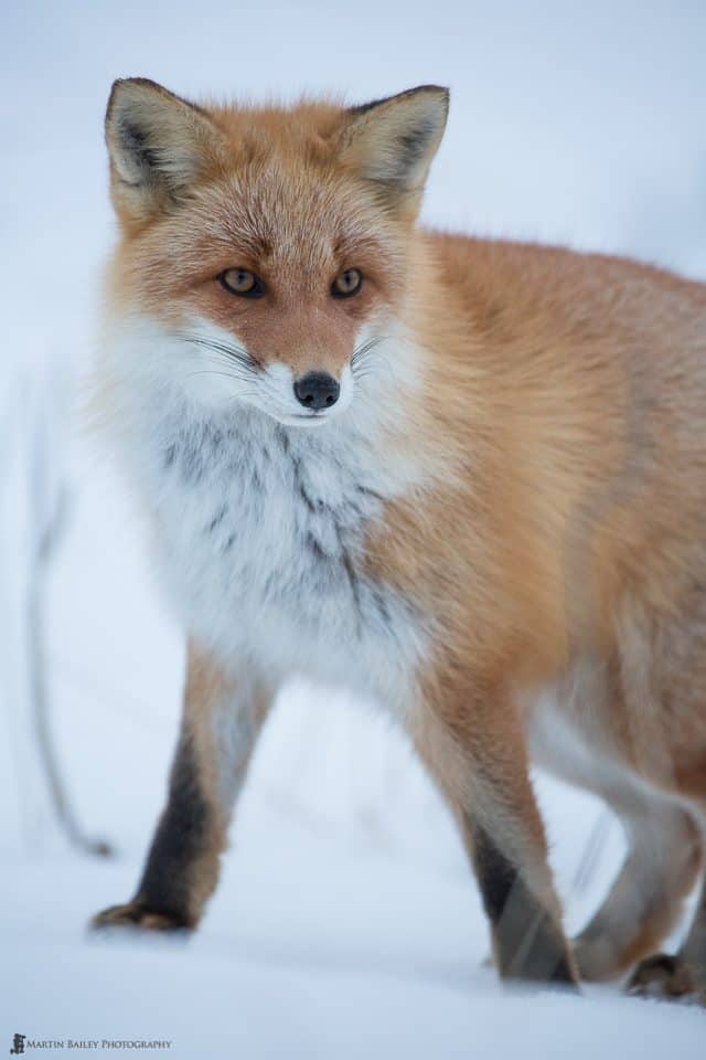 Northern Red Fox