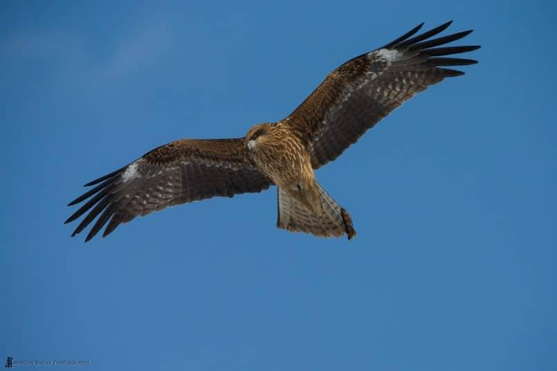 Black Kite Soaring