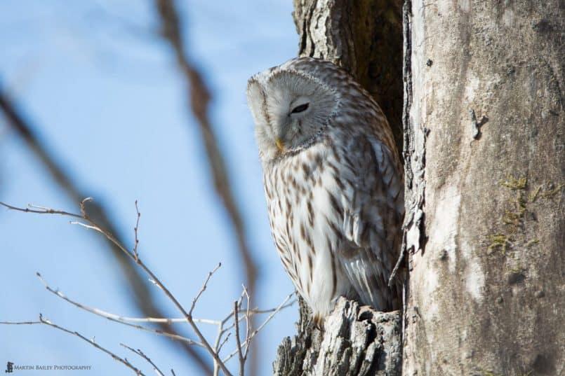 Sleepy Ural Owl @ 1120mm