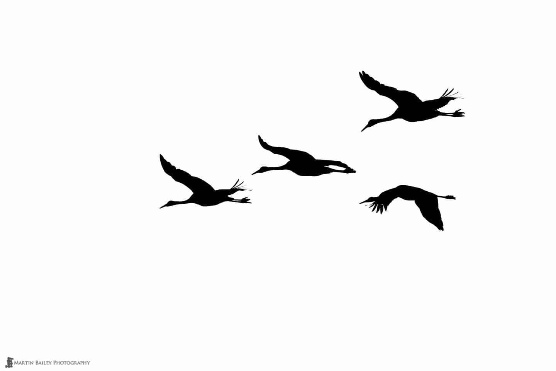 Cranes Silhouette