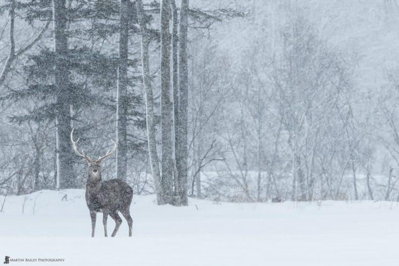 Ezo Deer Dignity