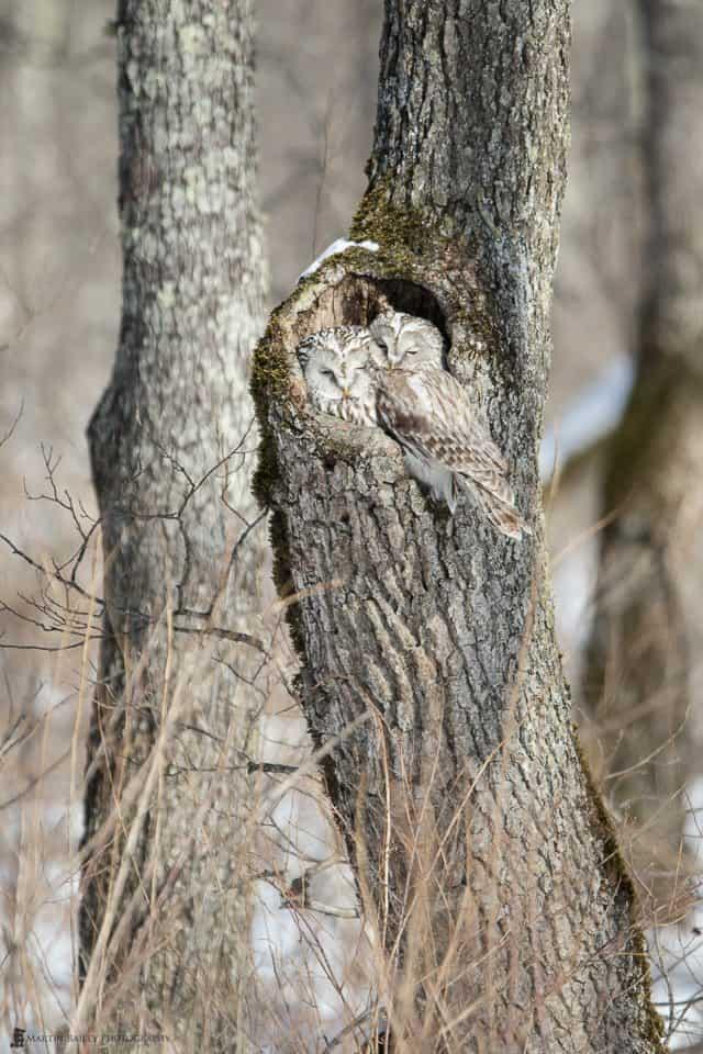 Ural Owls in Tree
