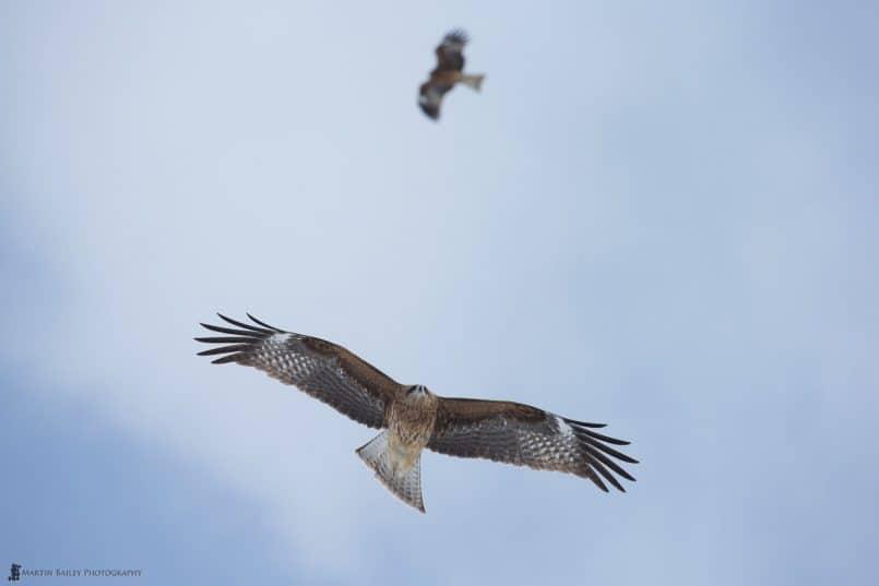 Black Kites in Flight