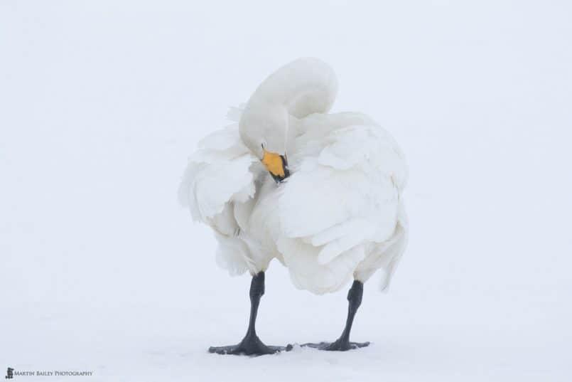 Whooper Swan Preening
