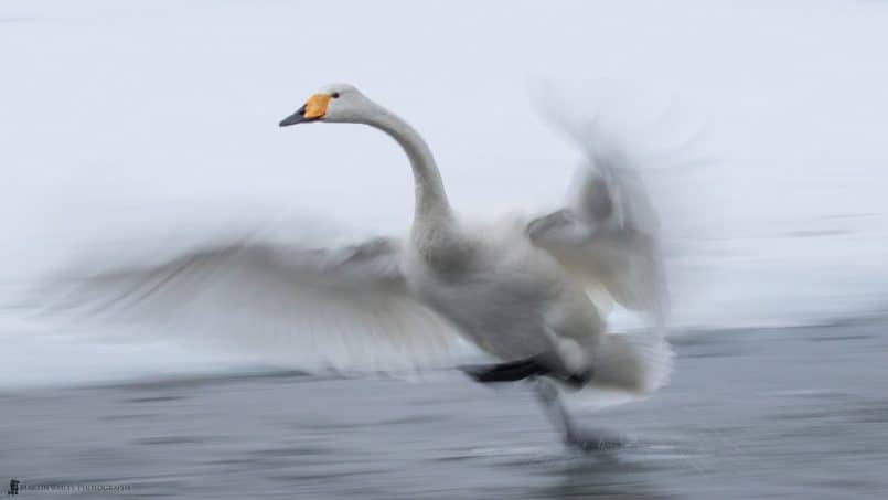 Whooper Swan Dash