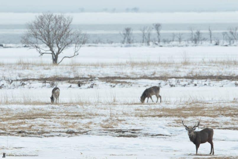 Ezo Deer at Notsuke Peninsula