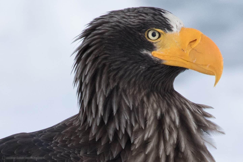 Steller's Sea Eagle Profile 100% Crop