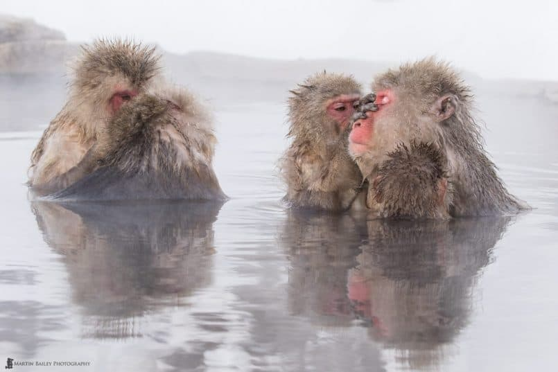 Grooming Snow Monkeys