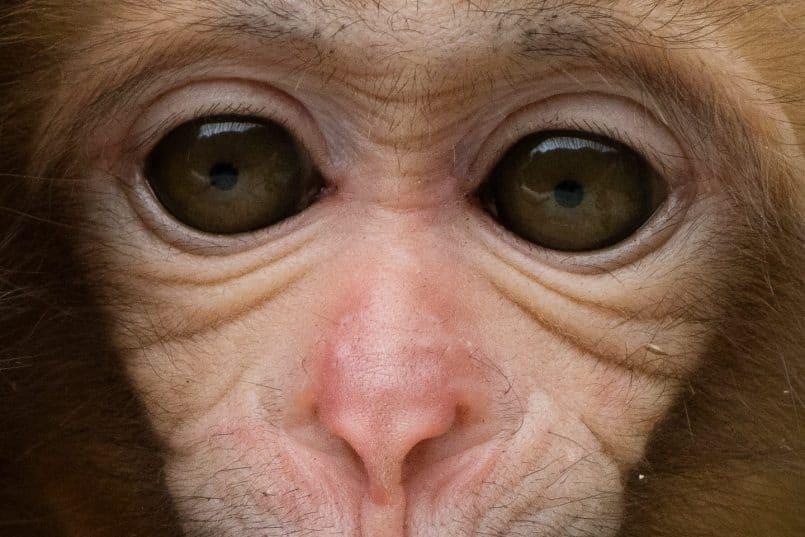 Baby Snow Monkey (100% crop)