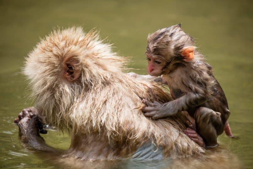 Six Week Snow Monkey on Mother's Back