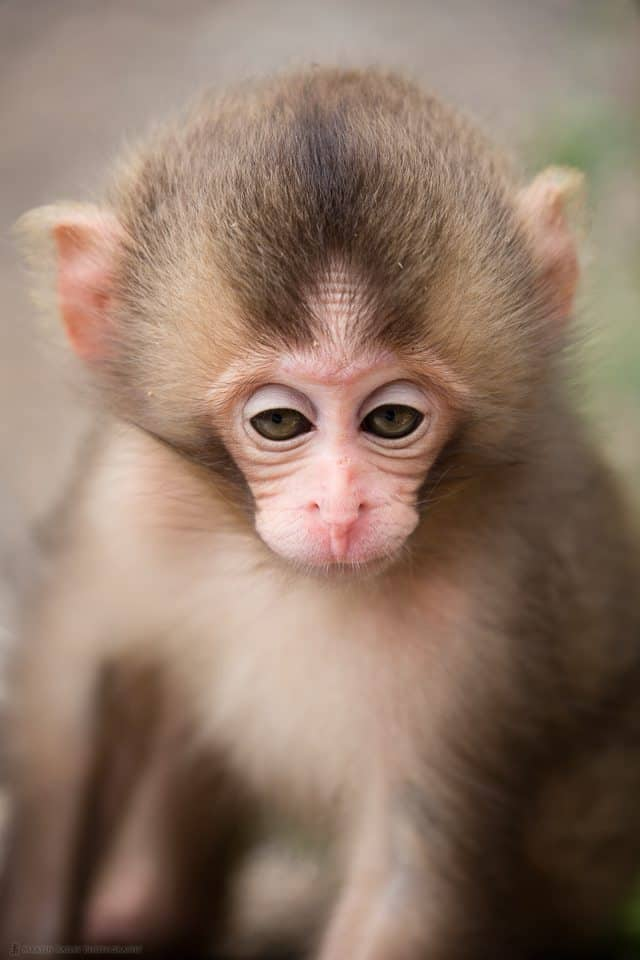 Drowsy Six Week Old Snow Monkey