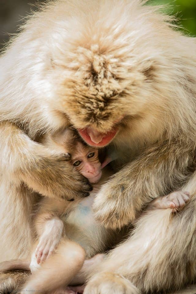 Six Week Old Snow Monkey in Mother's Arms