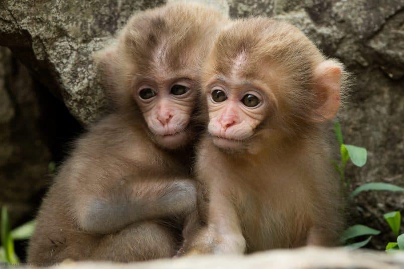 Two Baby Snow Monkeys