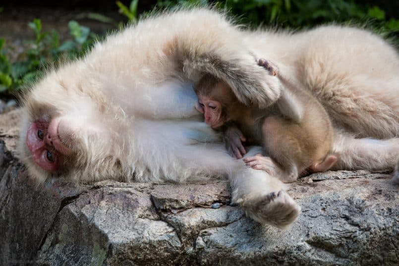 Baby Snow Monkey Feeding as Mother Lays Down