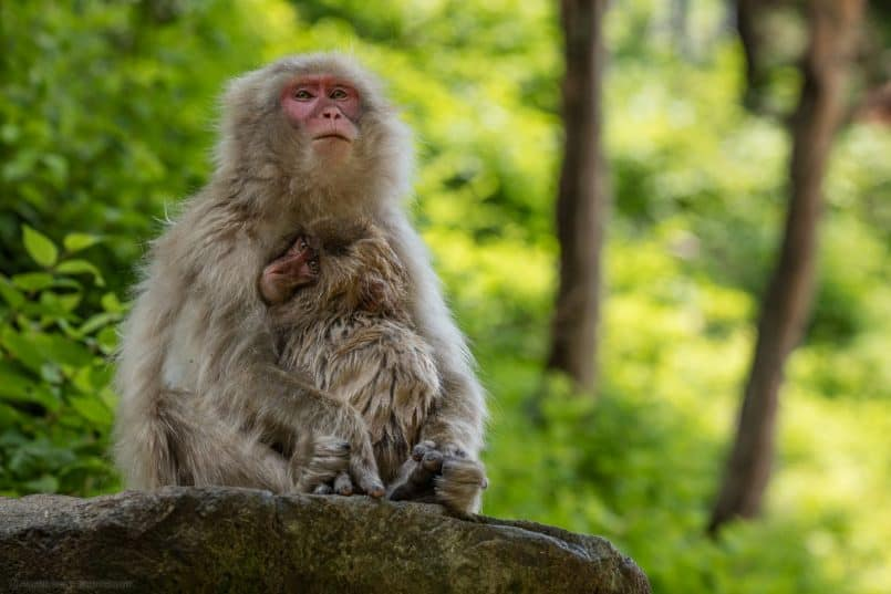 Young Snow Monkey with Mother