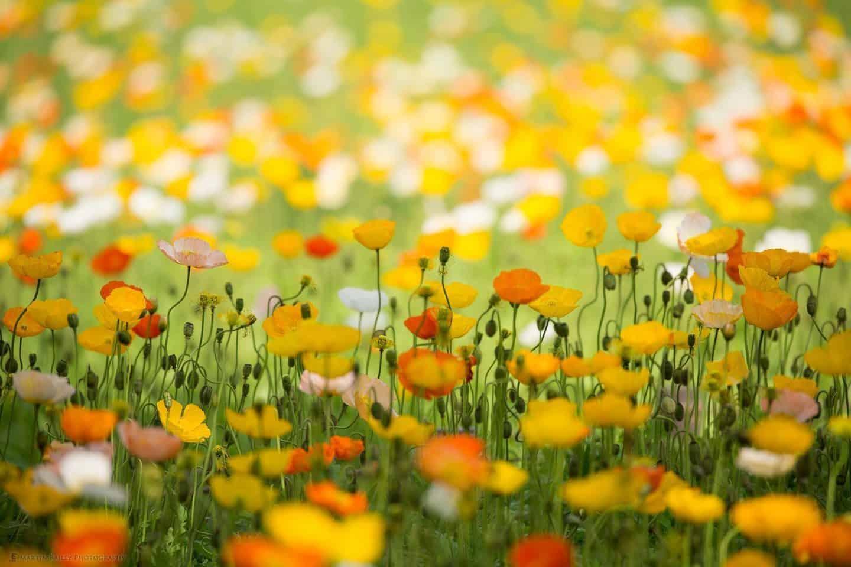 Spring Poppy Field