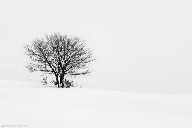 Tree with Sasa Leaves